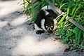 Lemur (36678717232).jpg