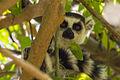 Lemur Catta - Anja Reserve - Madagascar MG 1611 (15286231925).jpg
