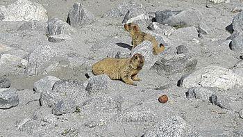 Lemur in Leh ladakh 11.jpg