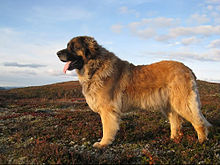 Image result for leonberger