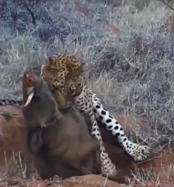 File:Leopard Kills Warthog in Burrow Latest Wildlife Sightings HD 1.png