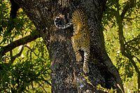 Leopard Tree AdF.jpg