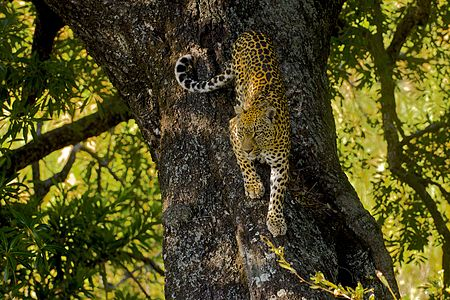 Female leopard elegantly descending from its favourite tree, where she spent the warmest hours of the day.