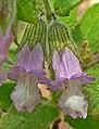 Lepechinia fragrans 2.jpg