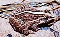Leptodactylus fuscus02.jpg