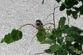 Lermoos wildlife- House sparrow (15672000595).jpg