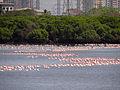 Lesser Flamingos5.JPG