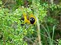 Lesser Masked-weaver (Ploceus intermedius) (12032735433).jpg