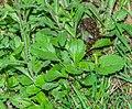 Leucanthemopsis alpina at Lac de Mines d'Or (3).jpg