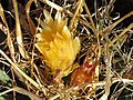 Leuchtenbergia principis 120.jpg