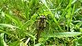 Libelle Kammerweiher.jpg