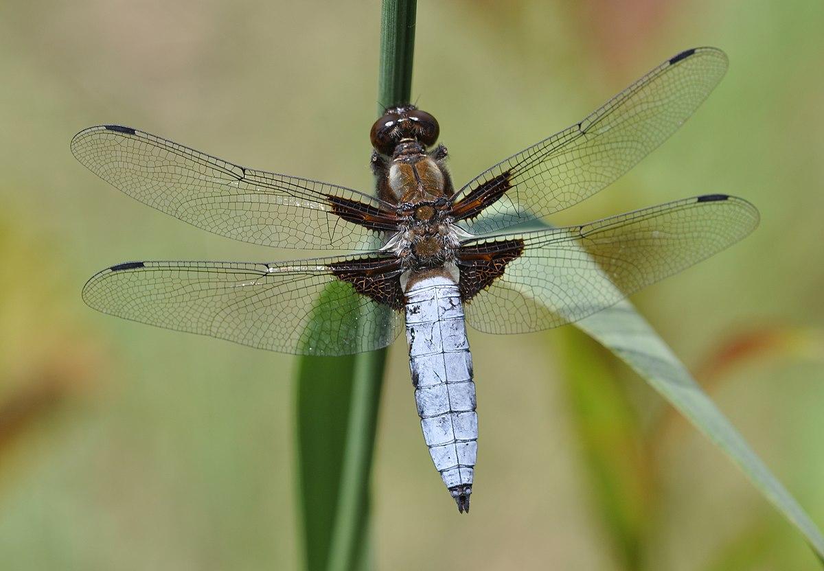 Famoso Libellula - Wikiquote UQ95