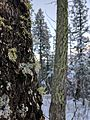 Lichen and trees in Cloudcroft.jpg