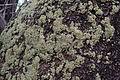 Lichen covered tree കല്പ്പായല്.JPG