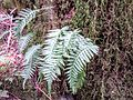 Licorice fern on Little Si - Flickr - brewbooks.jpg