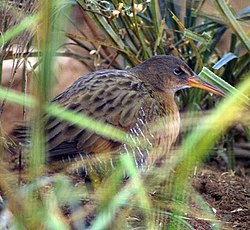 Light-footed clapper rail (6785303136).jpg