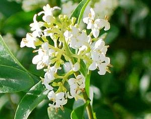 Ligustrum vulgaris (zoom)