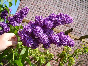 Syringa - Purple lilac bush