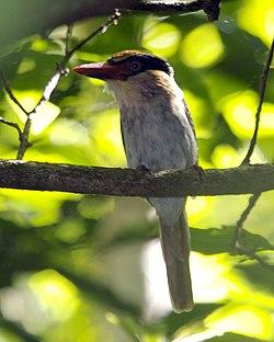 Lilac cheeked kingfisher.jpg