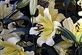Lilium Conca dOr 1zz.jpg