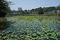 Lily Pond, Ueno Park, May 2017.jpg