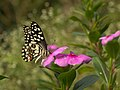 Lime butterfly from siruvani IMG 3734.jpg