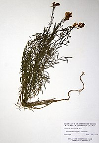 Linaria vulgaris BW-1979-0914-0687.jpg
