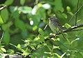 Lincoln's Sparrow (34176889480).jpg