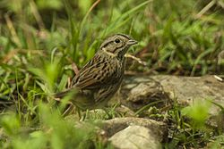 Lincoln's Sparrow - Texas - USA H8O2855 (23391611285).jpg