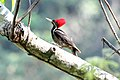Lineated Woodpecker (Dryocopus lineatus) (7222888864).jpg