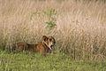 Lion cub - Queen Elizabeth National Park, Uganda.jpg