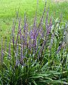 Liriope muscari - Floraison-2.jpg