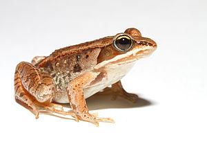 Wood frog - Image: Lithobates sylvaticus (Woodfrog)