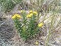 Lithospermum caroliniense.jpg