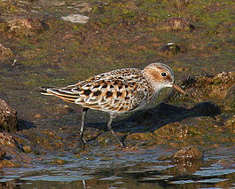 Little Stint.jpg