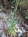 Lobelia nicotianifolia 26.jpg