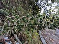 Lobelia nicotianifolia 4.jpg