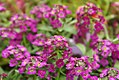 Lobularia maritima Easter Bonnet Deep Rose 0zz.jpg