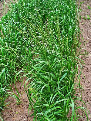 Lolium temulentum, Poaceae, Darnel, Cockle, ha...