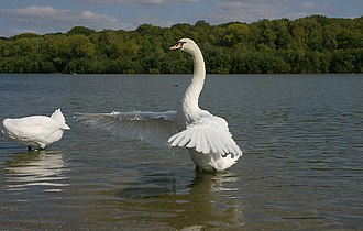 Ruislip Woods - Mute swans are commonly found at Ruislip Lido within Park Wood
