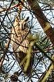 Long-eared owl - Ransuil (23999395691).jpg