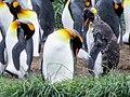 Looks so sad molting King Penguin Colony Tierra del Fuego Chile.jpg