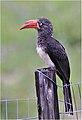 Lophoceros alboterminatus00.jpg