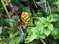 Lords and Ladies (Arum maculatum) - geograph.org.uk - 887684.jpg