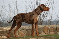 Louisiana Cataholula Leopard Dog - Coahoma Arkansas.JPG