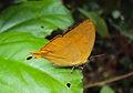 Loxura atymnus - Yamfly 17.JPG