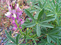 Lupinus hispanicus FlowersLeaves 26April2009 DehesaBoyaldePuertollano.jpg