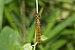 Lyriothemis acigastra-Kadavoor-2016-06-19-003.jpg