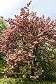 Münster, Park Sentmaring, Japanische Blütenkirsche -- 2015 -- 5709.jpg
