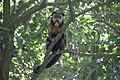 Macaco Bugio 1.JPG